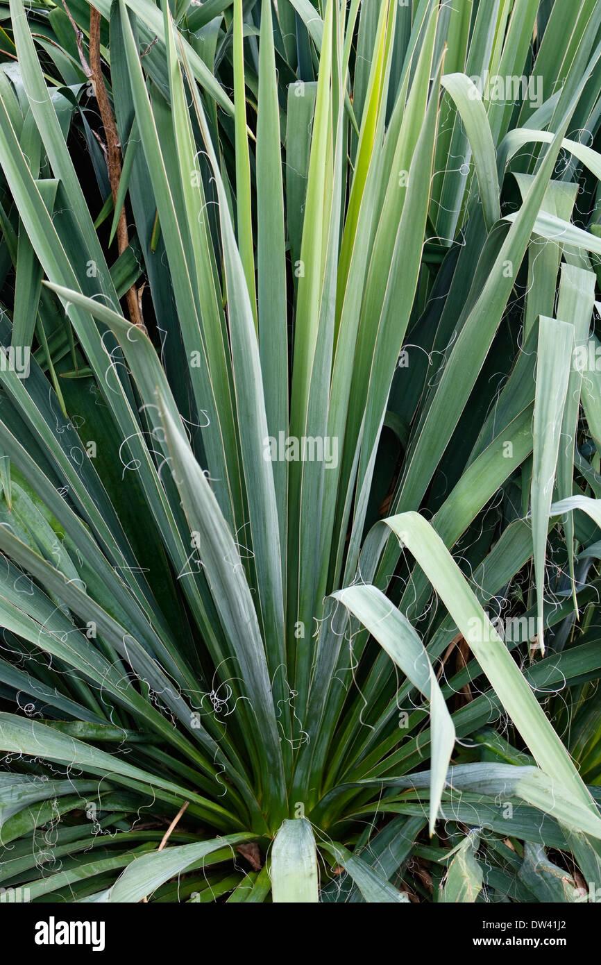 Banane Yucca (Yucca Baccata) Stockbild