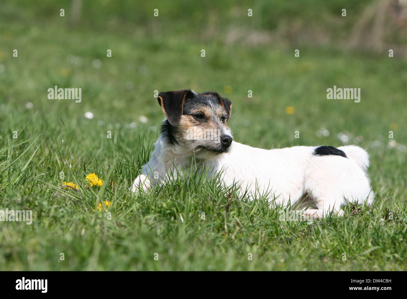 Ausgezeichnet Drahthaar Terrier Hunde Galerie - Elektrische ...