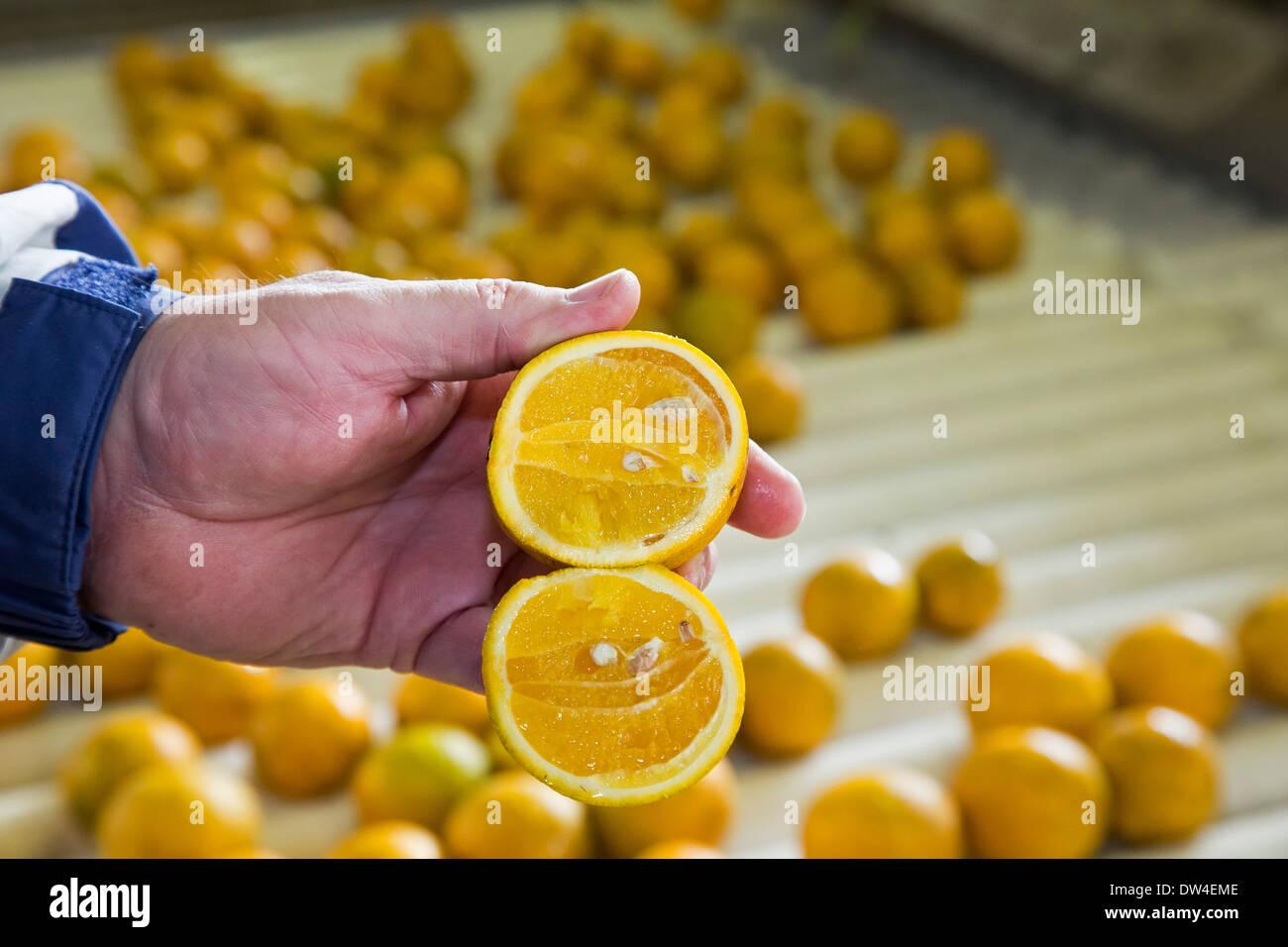 Vero Beach, Florida - eine Orange mit citrus Greening Krankheit infiziert. Stockbild