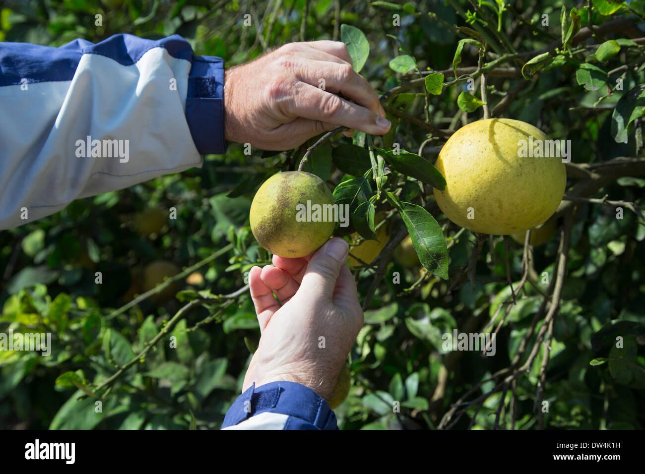 Citrus Greening Krankheit betrifft einen Grapefruit-Baum im Indian River Citrus Stadtteil an der Ostküste Floridas. Stockbild