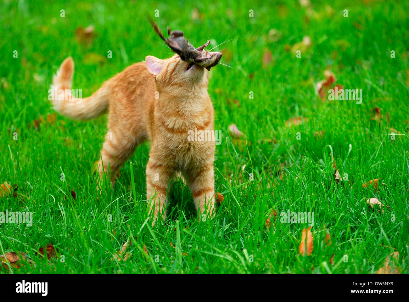 Pouncing Domestic Cat Stockfotos Amp Pouncing Domestic Cat