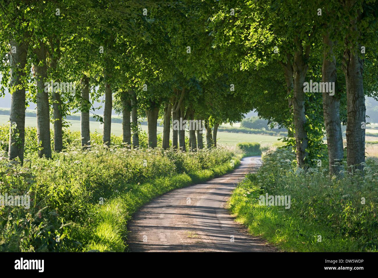 Wicklung Baum gesäumten Feldweg, Dorset, England. (Juli) im Sommer 2013. Stockbild