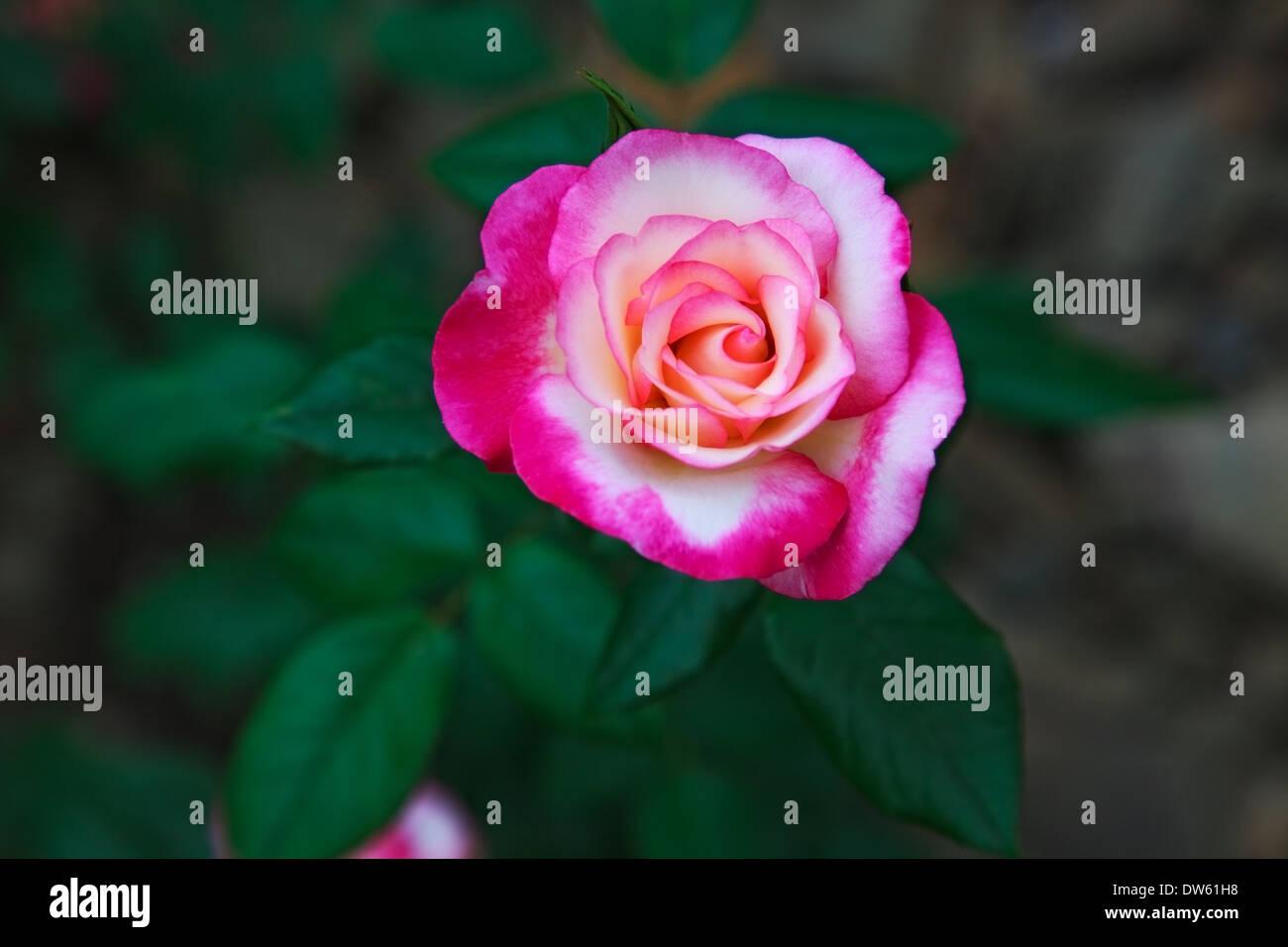 schöne Twocolored Blume stieg. im Freien Schuss Stockbild
