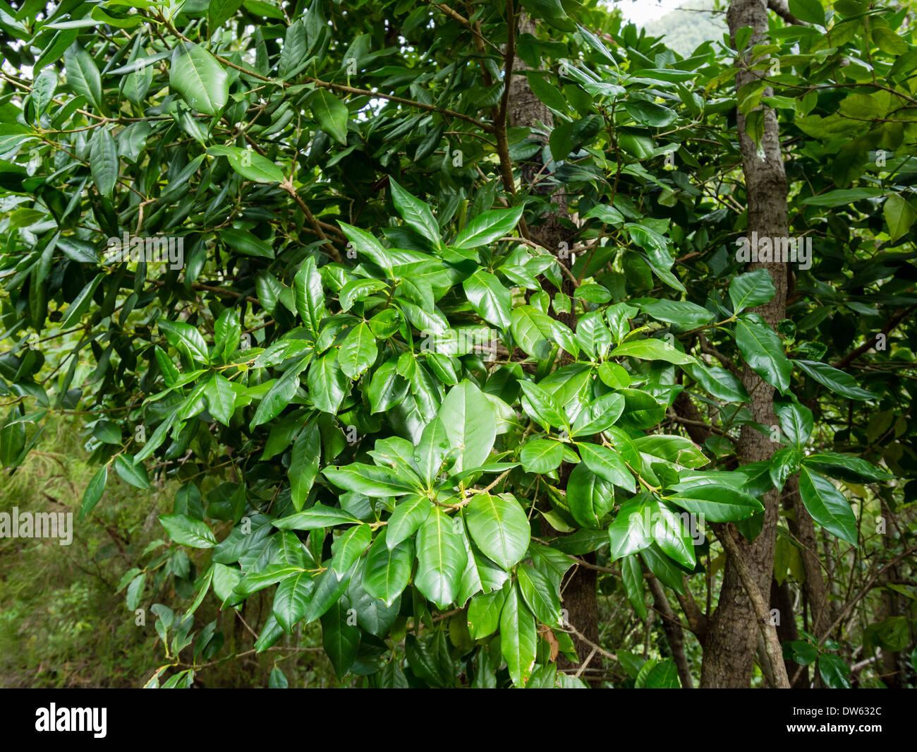 Lorbeerblätter wachsen in den Laurel Wald Los Tiles / Los Tilos auf der Kanareninsel La Palma. Stockfoto