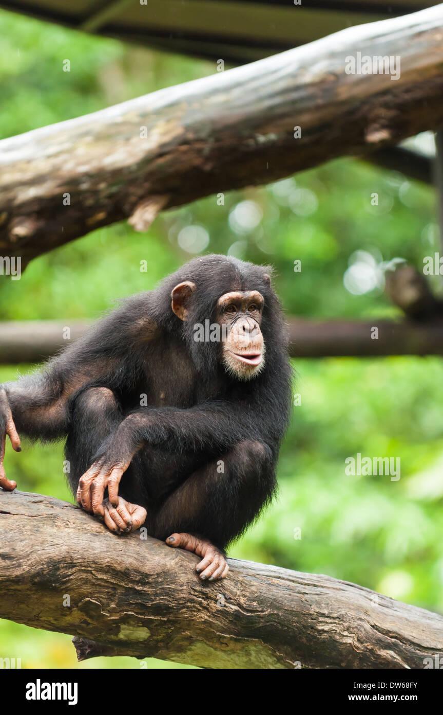 Gemeinsame Schimpanse im Zoo von Singapur. Stockbild