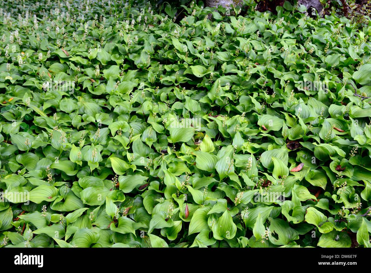 Maianthemum Dilatatum Teppich Dichten Wuchs Bodendecker Bodendecker