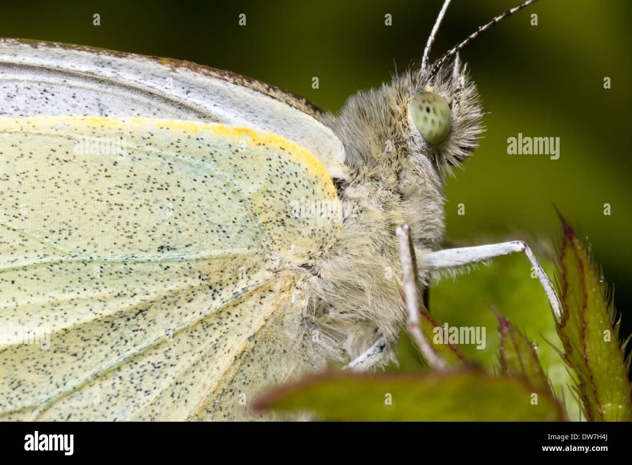 Schuss auf das Auge eines männlichen großen weißen Schmetterlinges, Pieris Brassicae konzentriert hautnah Stockbild