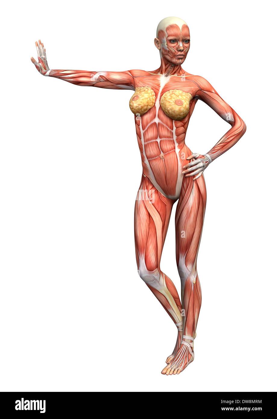 Digitale 3D render eine weibliche Anatomie Figur mit Muskeln Karte ...