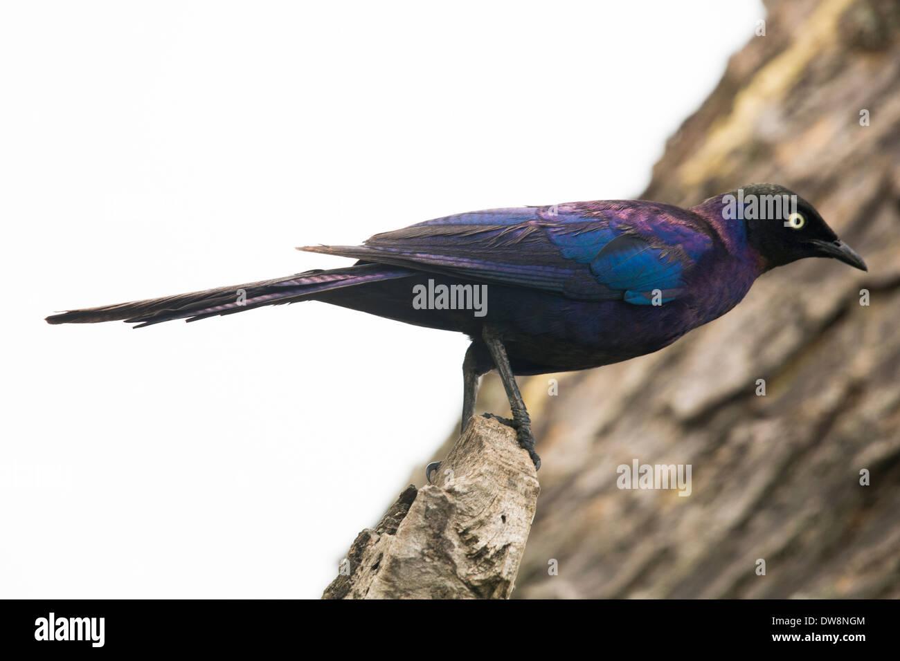 Ein afrikanischer Vogel auf einem Baum in einem Nationalpark in Afrika. Stockbild