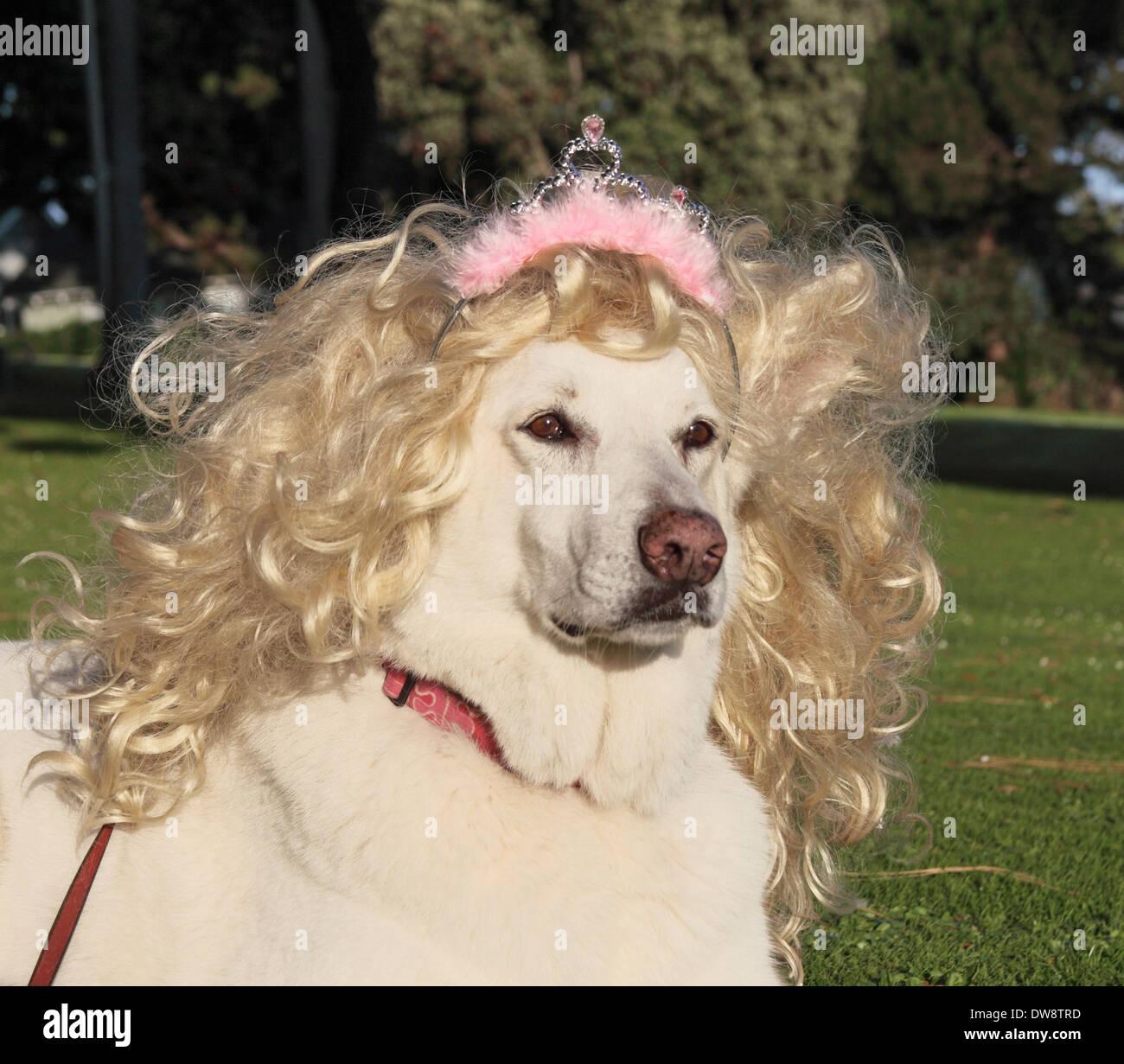 Hund trägt Perücke und und Tiara entspannt auf dem Rasen Stockbild