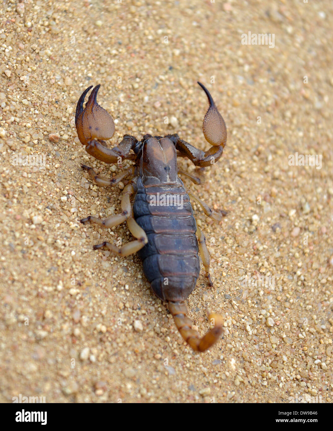 South African Scorpion Stockfotos & South African Scorpion Bilder ...