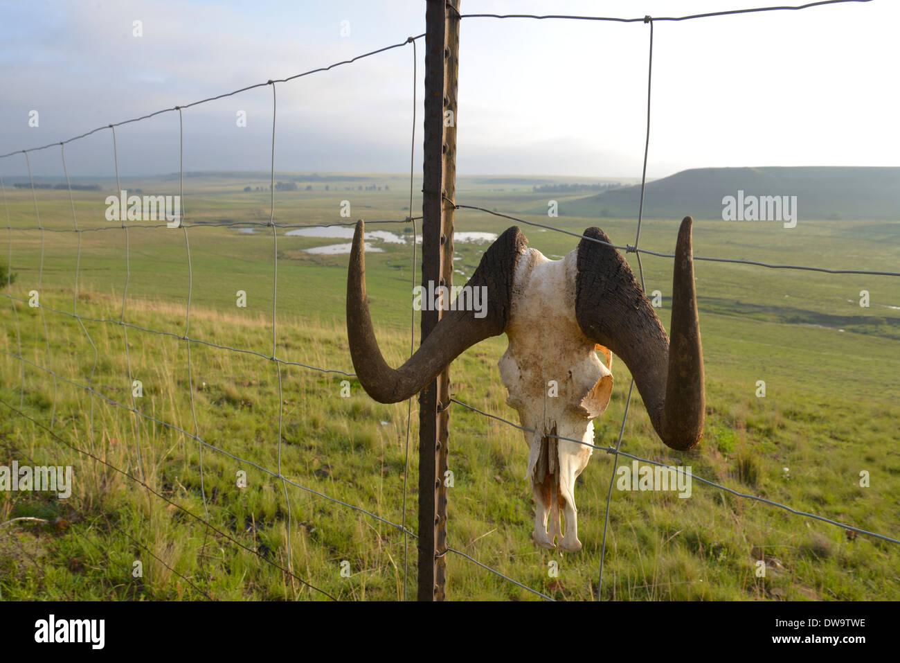 Hörner des schwarzen Gnus hängen am Zaun der Jagdfarm in das Free State in Südafrika. Stockbild