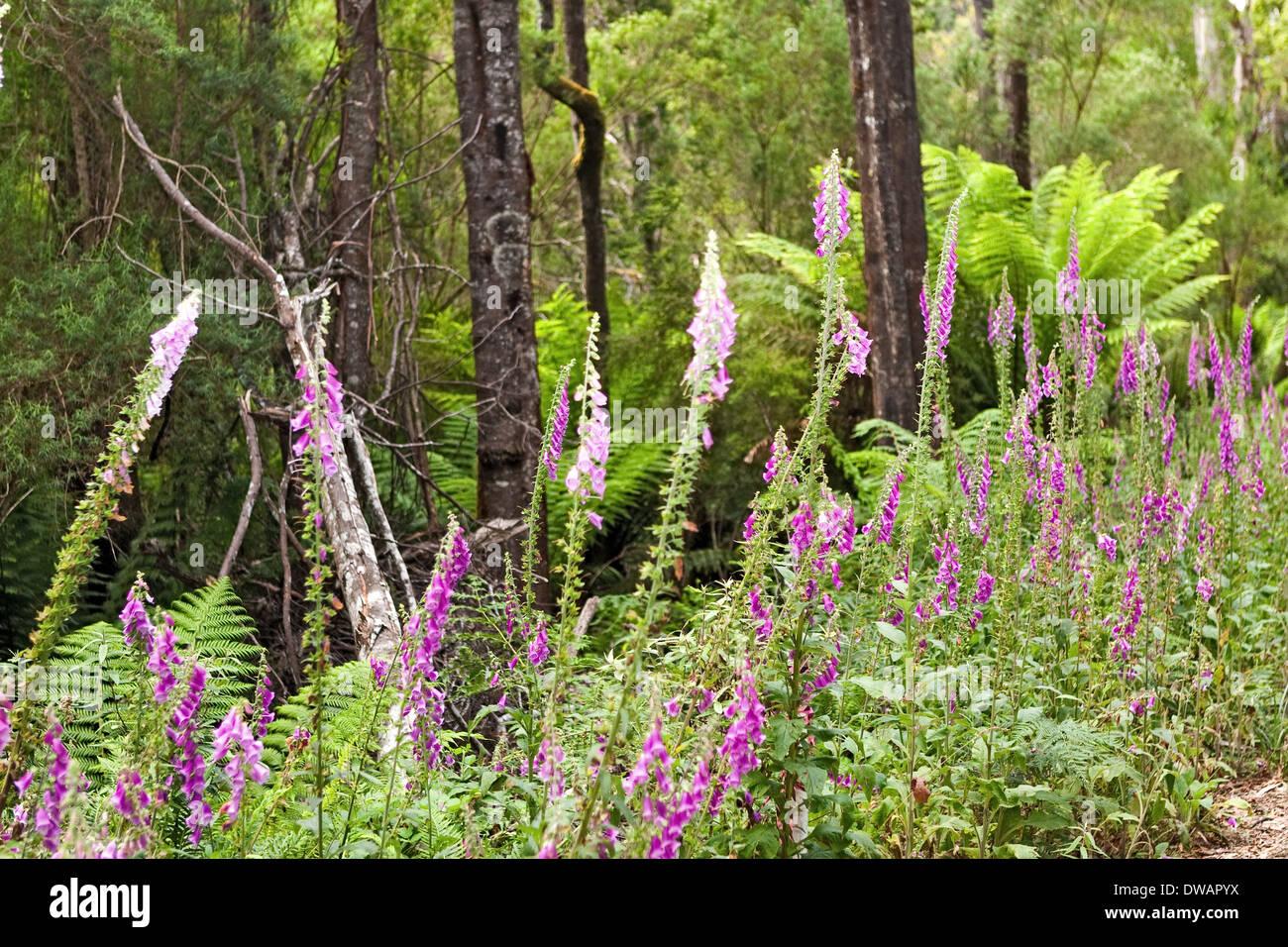 Der blaue Tier Forest Reserve in der Nähe von St Helen's Tasmanien Australien Stockbild