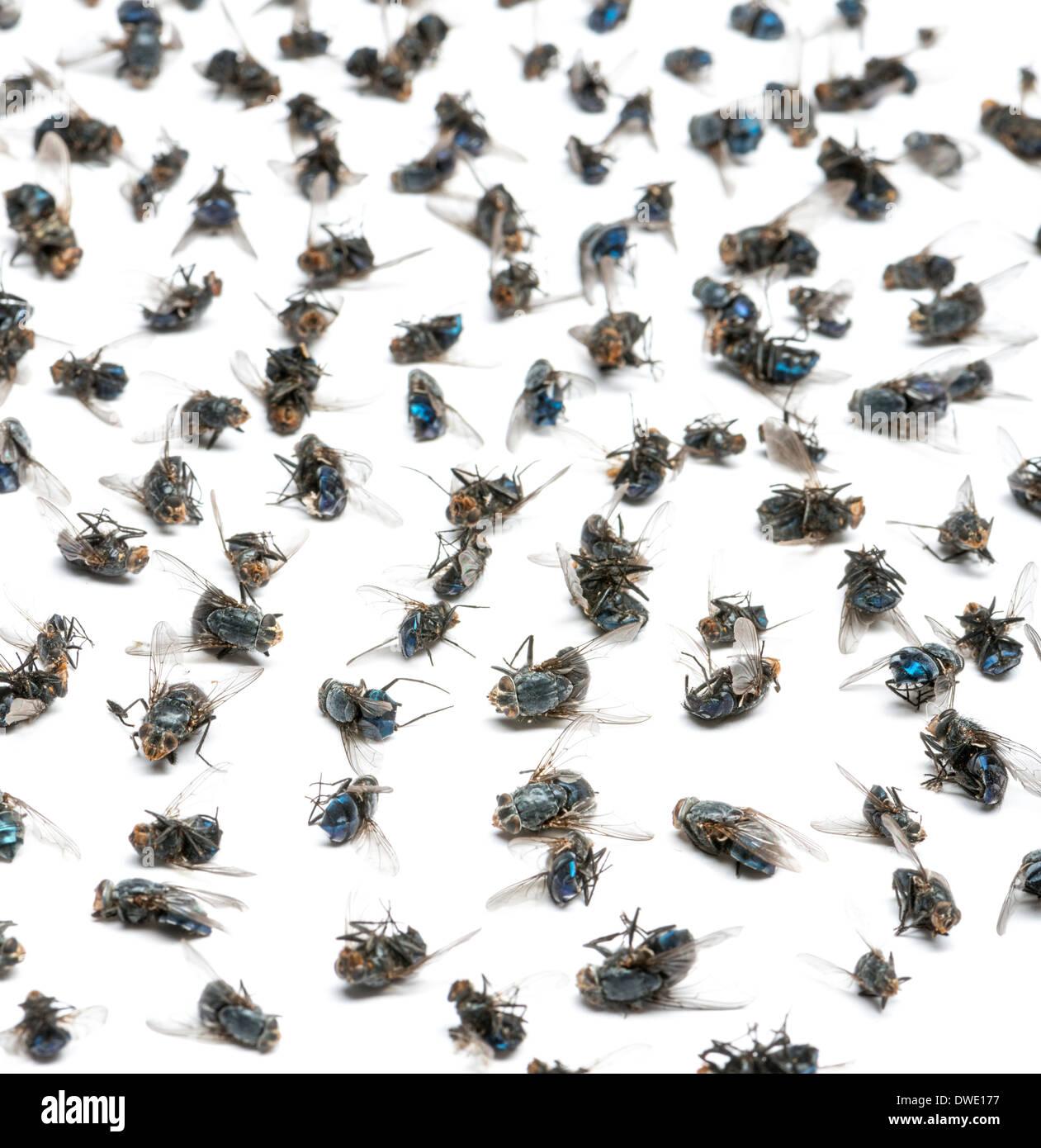 Nahaufnahme einer Gruppe von toten Fliegen vor weißem Hintergrund Stockbild