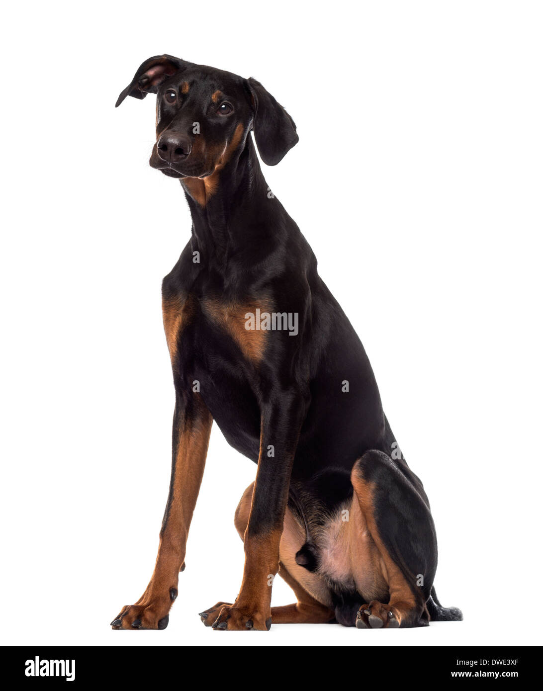 Doberman Pinscher Dog Puppy Sitting Stockfotos Doberman Pinscher