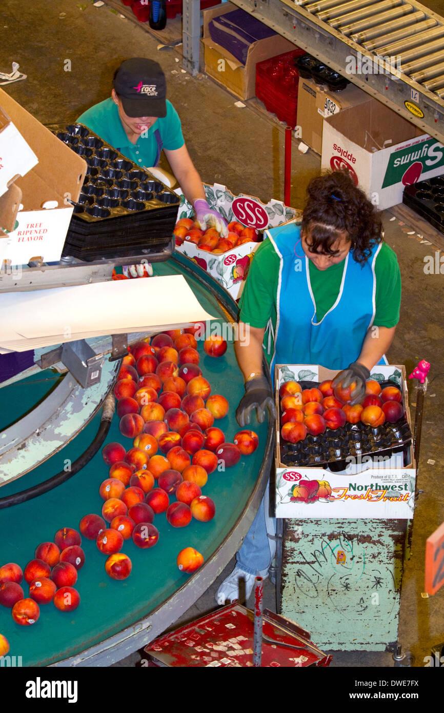Mitarbeiter sortieren Pfirsiche auf der Symms-Frucht-Ranch Verpackung in der Nähe von Sonnenhang, Idaho, USA. Stockbild
