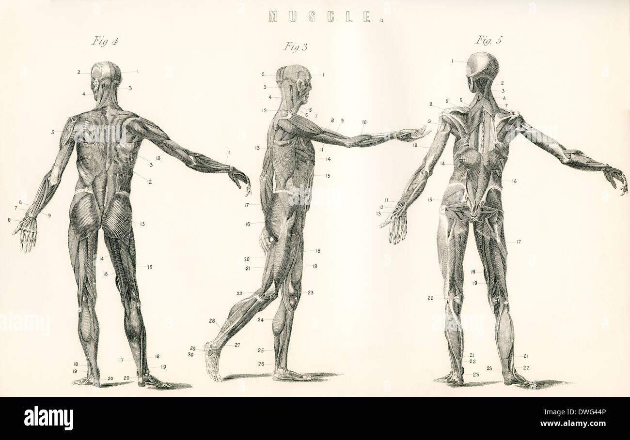 Anatomische Studie der Muskel im menschlichen Körper Stockfoto, Bild ...