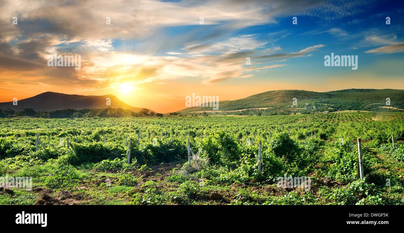 Grüner Weinberg an den Sonnenaufgang auf der Krim Stockbild