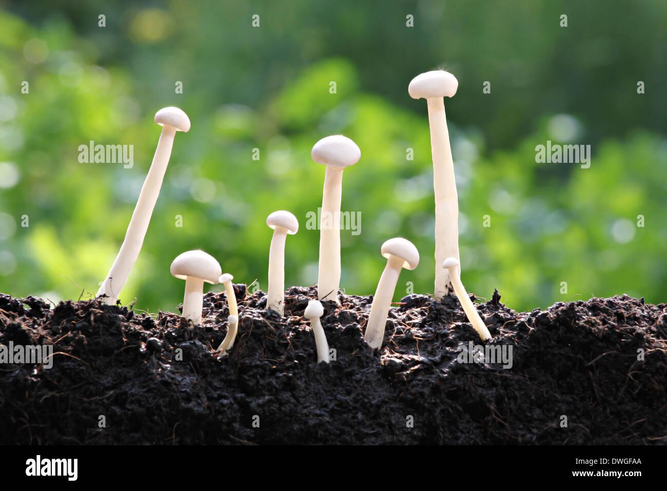 Weißer Pilz viele frühes Wachstum im Hinterhof. Stockbild