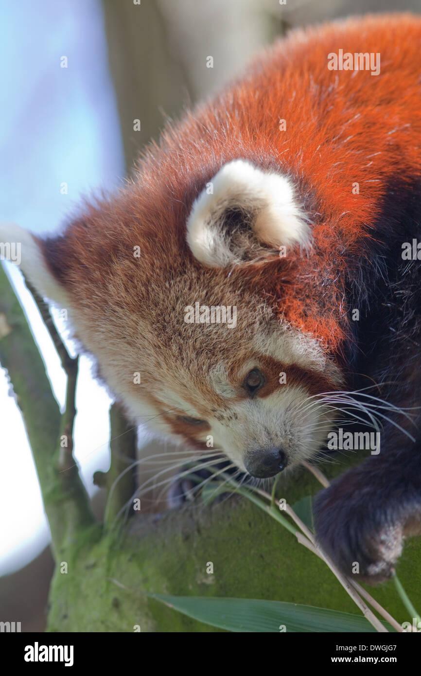 Rot Oder Kleinere Panda Ailurus Fulgens Mit Vorder Pfote Und