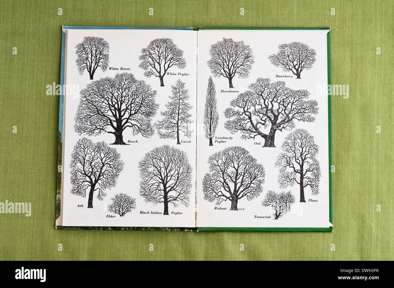 """Umrisse von Bäumen wie Tinte gezeichnet von S R Badmin - gedruckt auf der Innenseite Rückendeckel """"Bäume"""" ein 1963-Marienkäfer-Buch. VEREINIGTES KÖNIGREICH. Stockbild"""