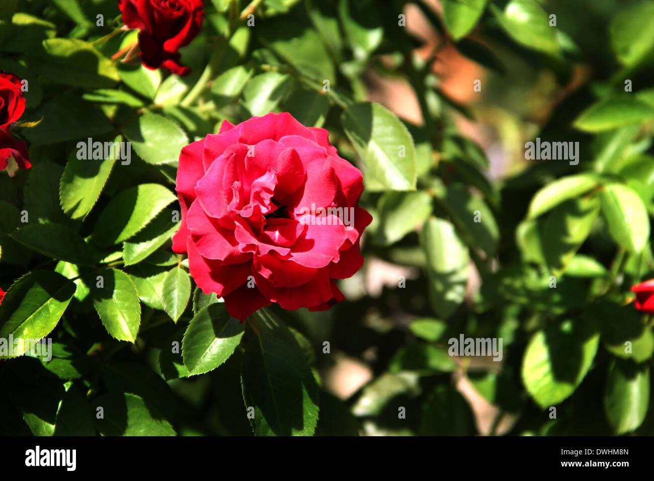 sch ne rote rosen im garten am sonnigen tag stockfoto bild 67386613 alamy. Black Bedroom Furniture Sets. Home Design Ideas