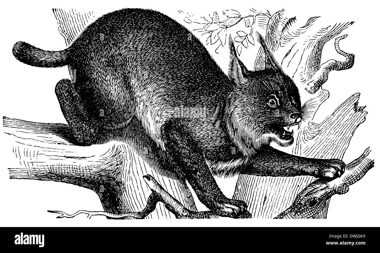 illustration of lynx stockfotos  illustration of lynx