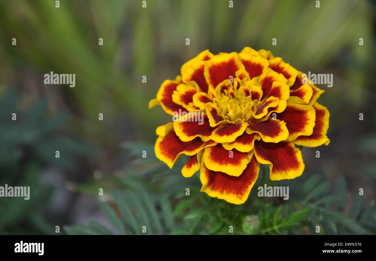 Stinken Sie Afrikaner Blume Orange mit braunen Blütenblättern Stockbild