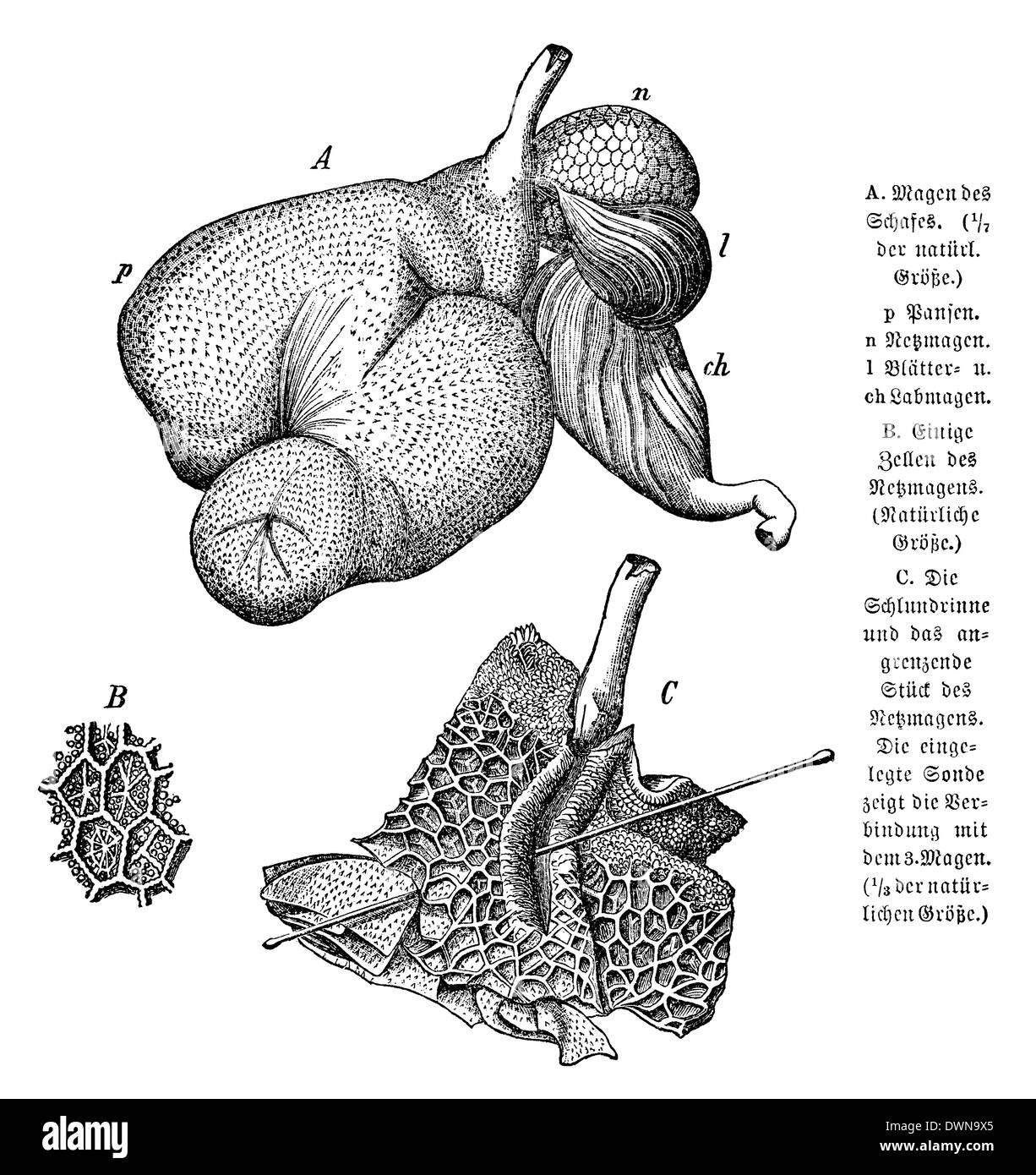 Großzügig Schafe Magen Anatomie Fotos - Anatomie Ideen - finotti.info