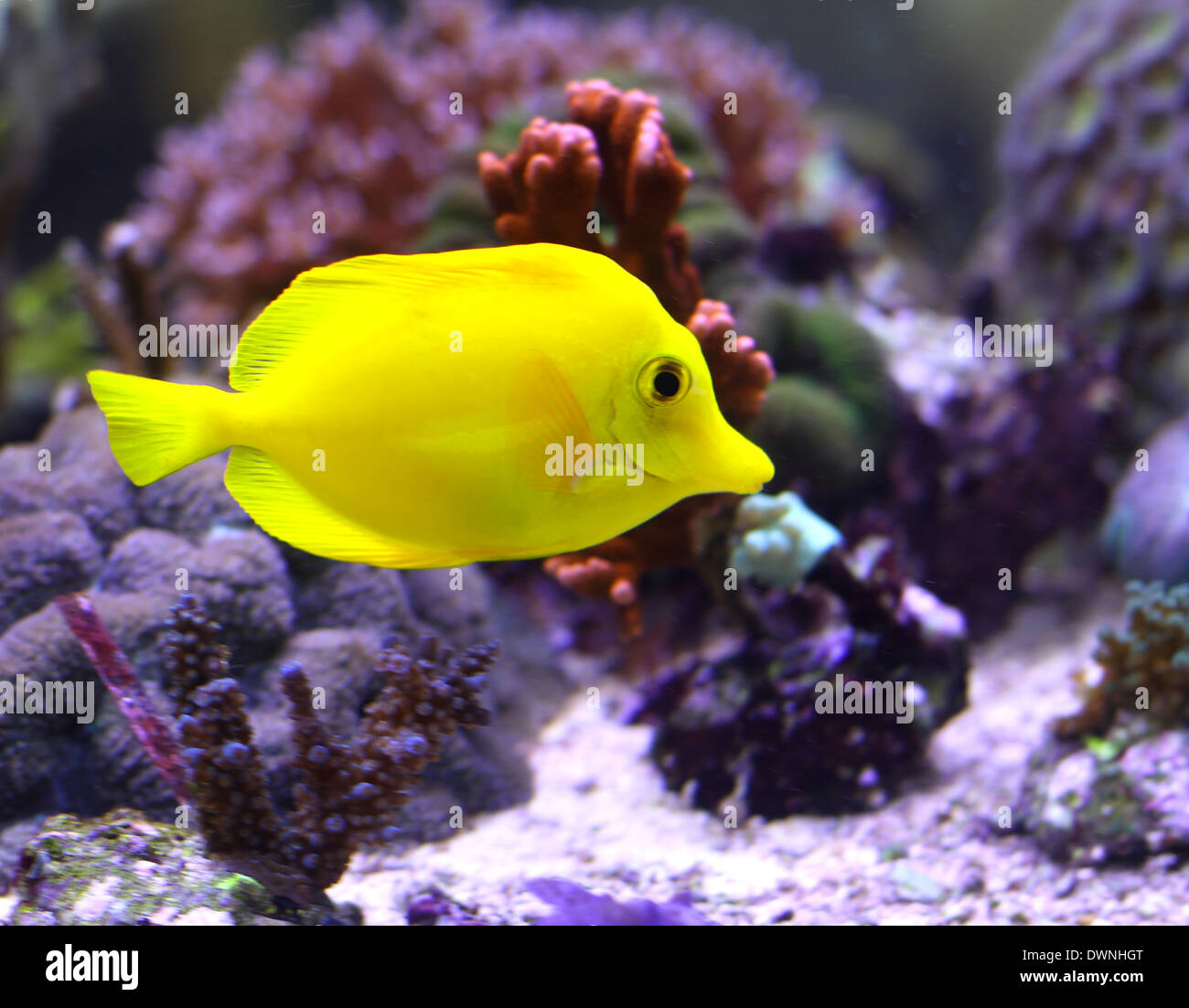 Yellow fish seychelles stockfotos yellow fish seychelles for Tropische fische
