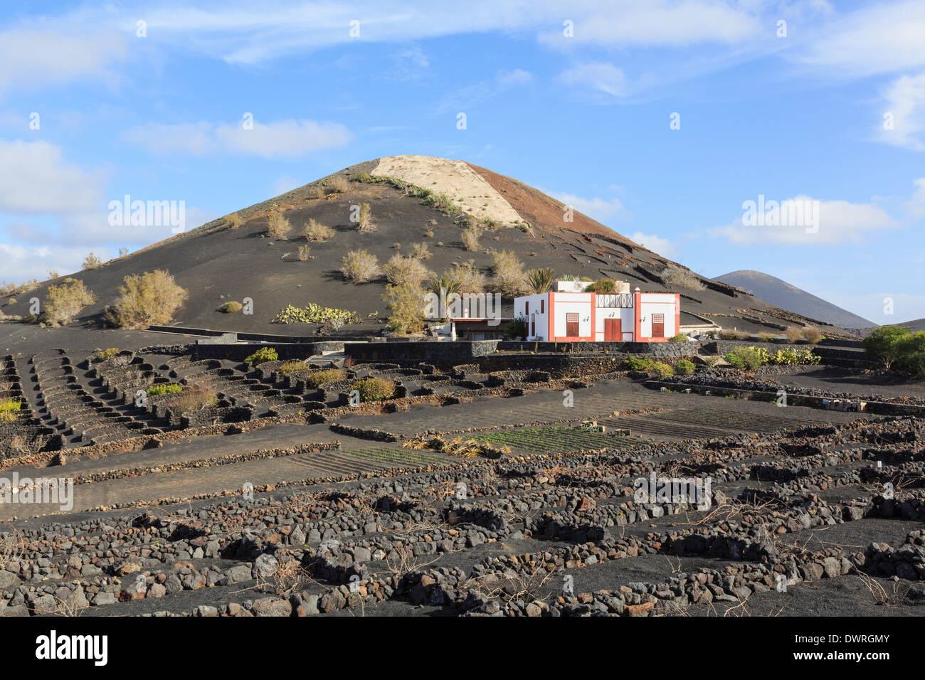 Weingut über einen Bereich der Reben wachsen in Vulkanasche geschützt von Mauern in den Weinbergen La Geria, Lanzarote, Kanarische Inseln Stockbild