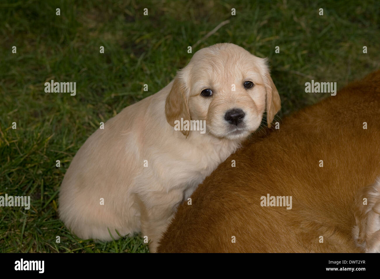 golden retriever female puppy week stockfotos golden retriever female puppy week bilder alamy. Black Bedroom Furniture Sets. Home Design Ideas