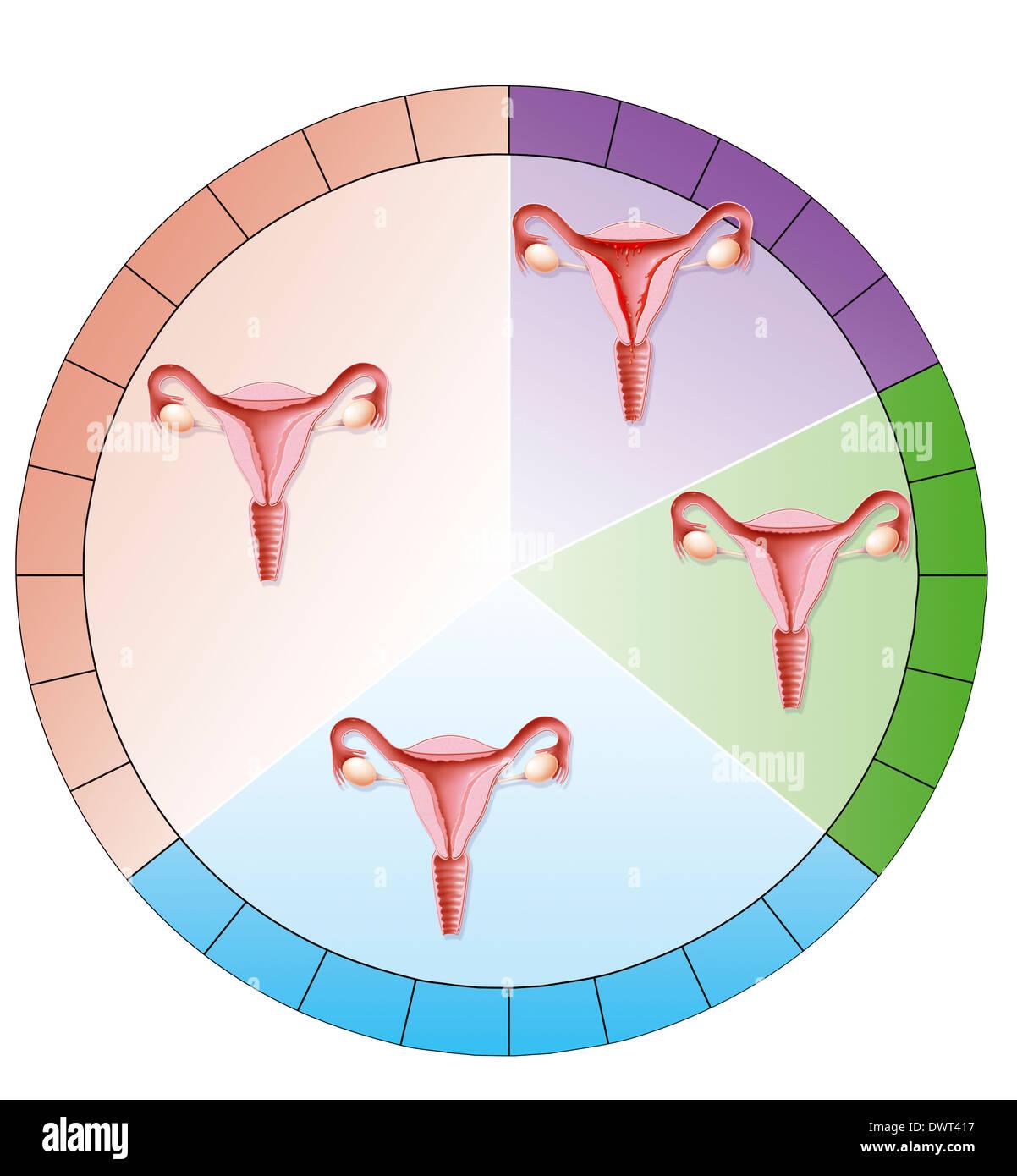 Menstruationszyklus, Zeichnung Stockfoto