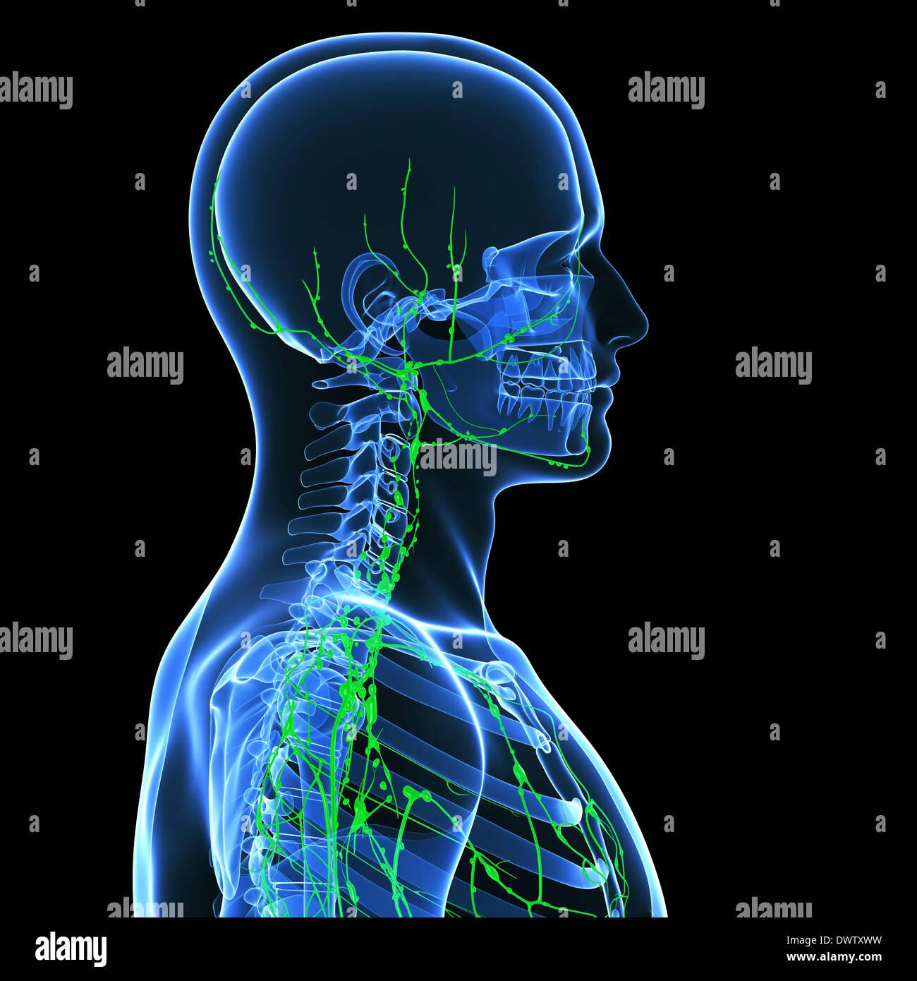 Charmant Kopf Und Hals Anatomie Radiologie Bilder - Anatomie Von ...