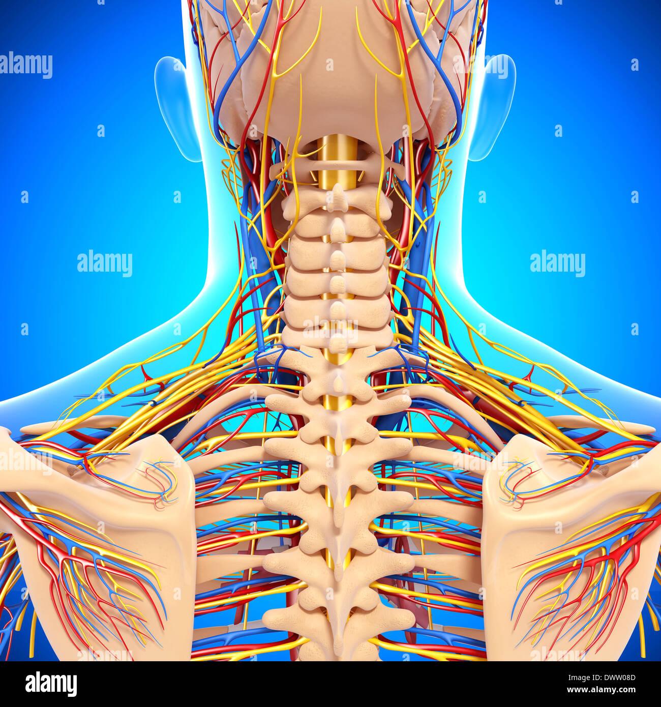 Peripheren Nervensystems Nacken zeichnen Stockfoto, Bild: 67546541 ...