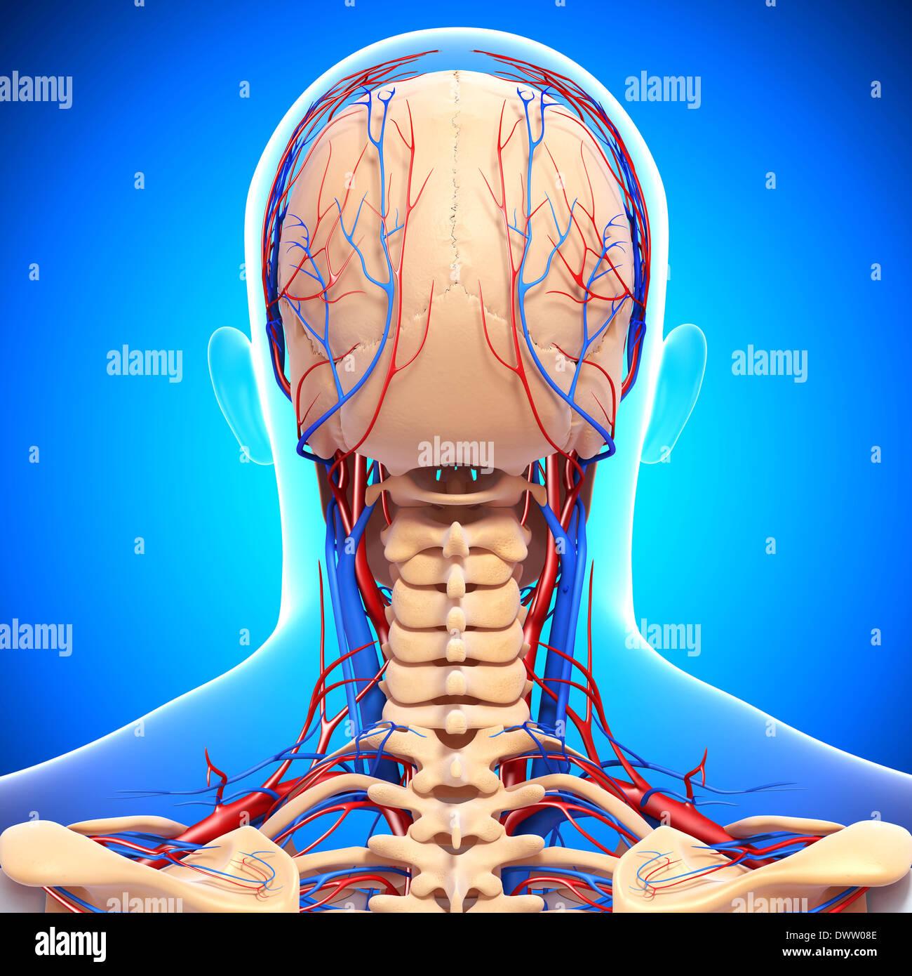 Arteriole Stockfotos & Arteriole Bilder - Seite 2 - Alamy