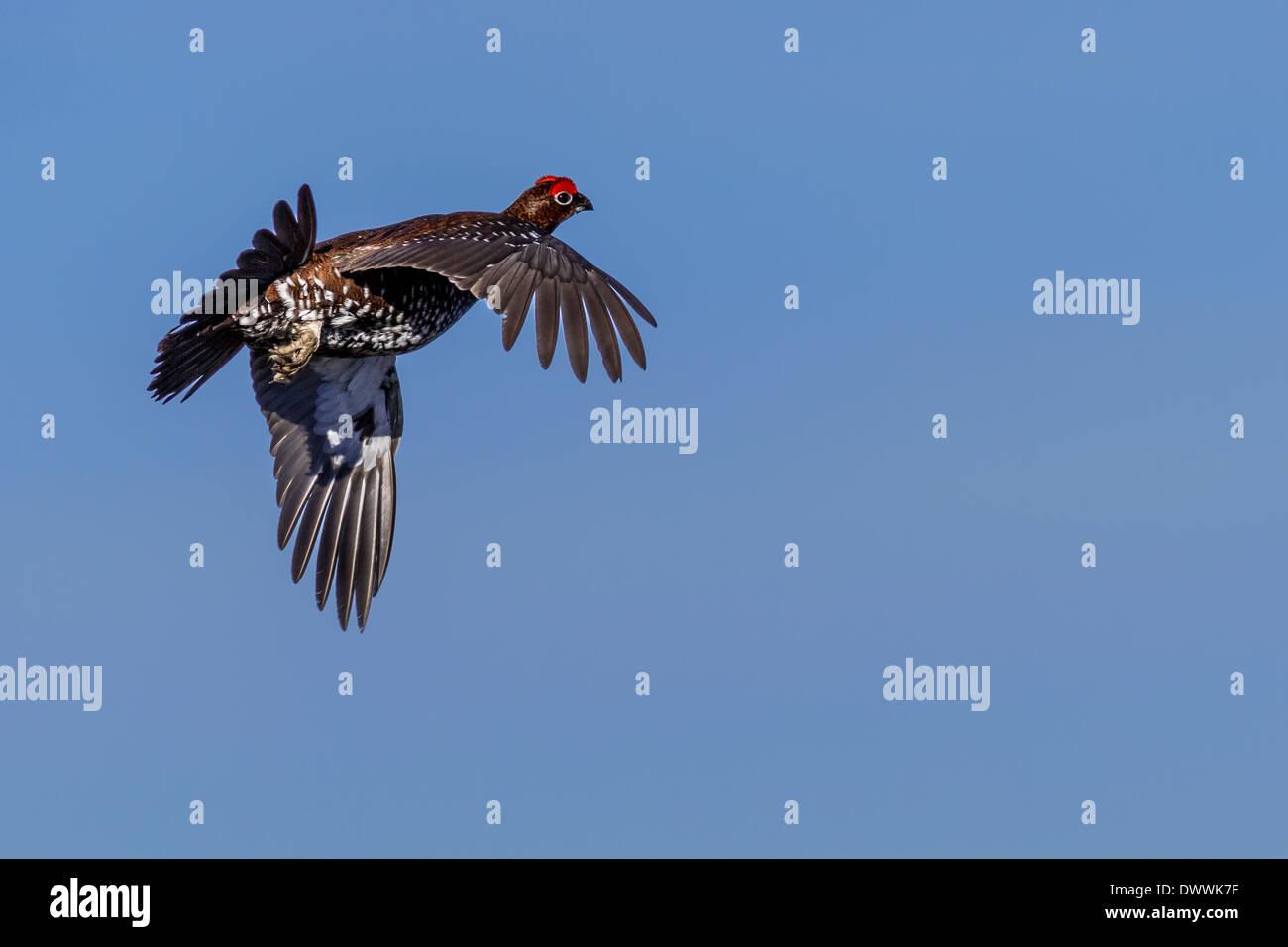 Tierwelt: Moorschneehuhn (Lagopus lagopus) fliegen nach dem Abheben, England, Großbritannien Stockfoto