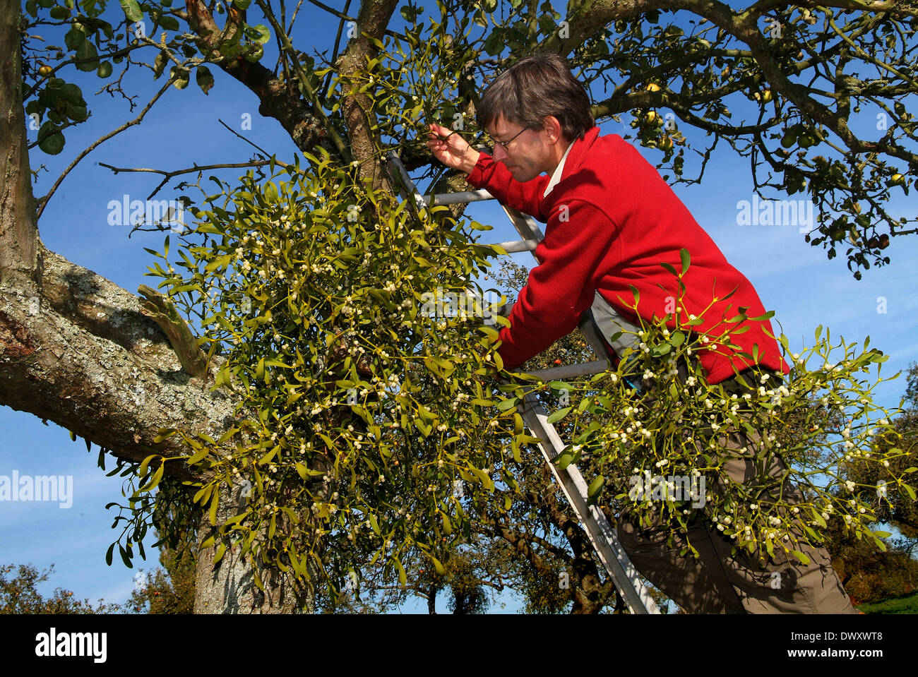 englisch mistel in einem apfelbaum obstgarten in shropshire wachsen eine traditionelle. Black Bedroom Furniture Sets. Home Design Ideas