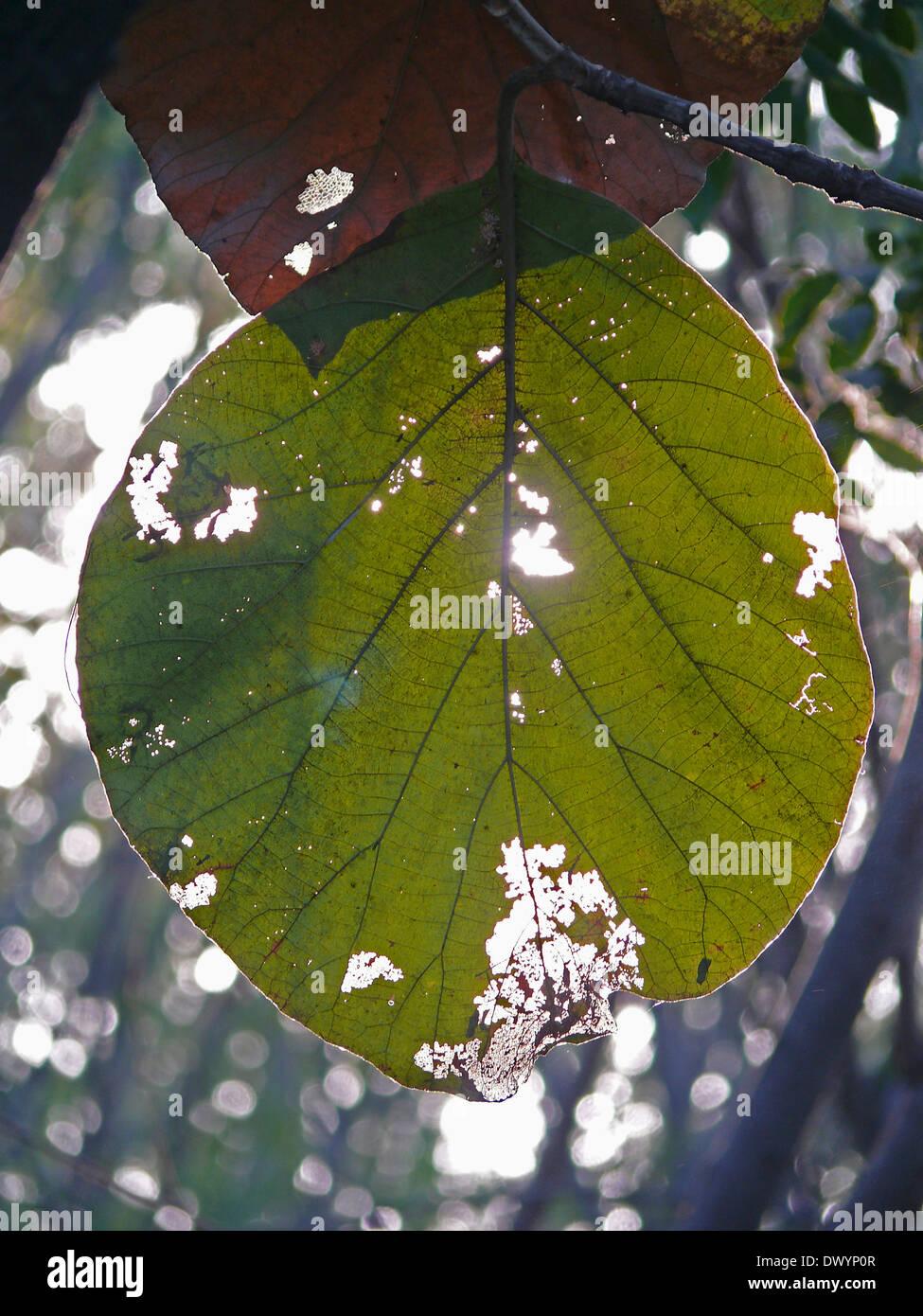 Teakbaum blatt  Blatt der Teak-Baum, Tectona Grandis L. F Stockfoto, Bild: 67607479 ...