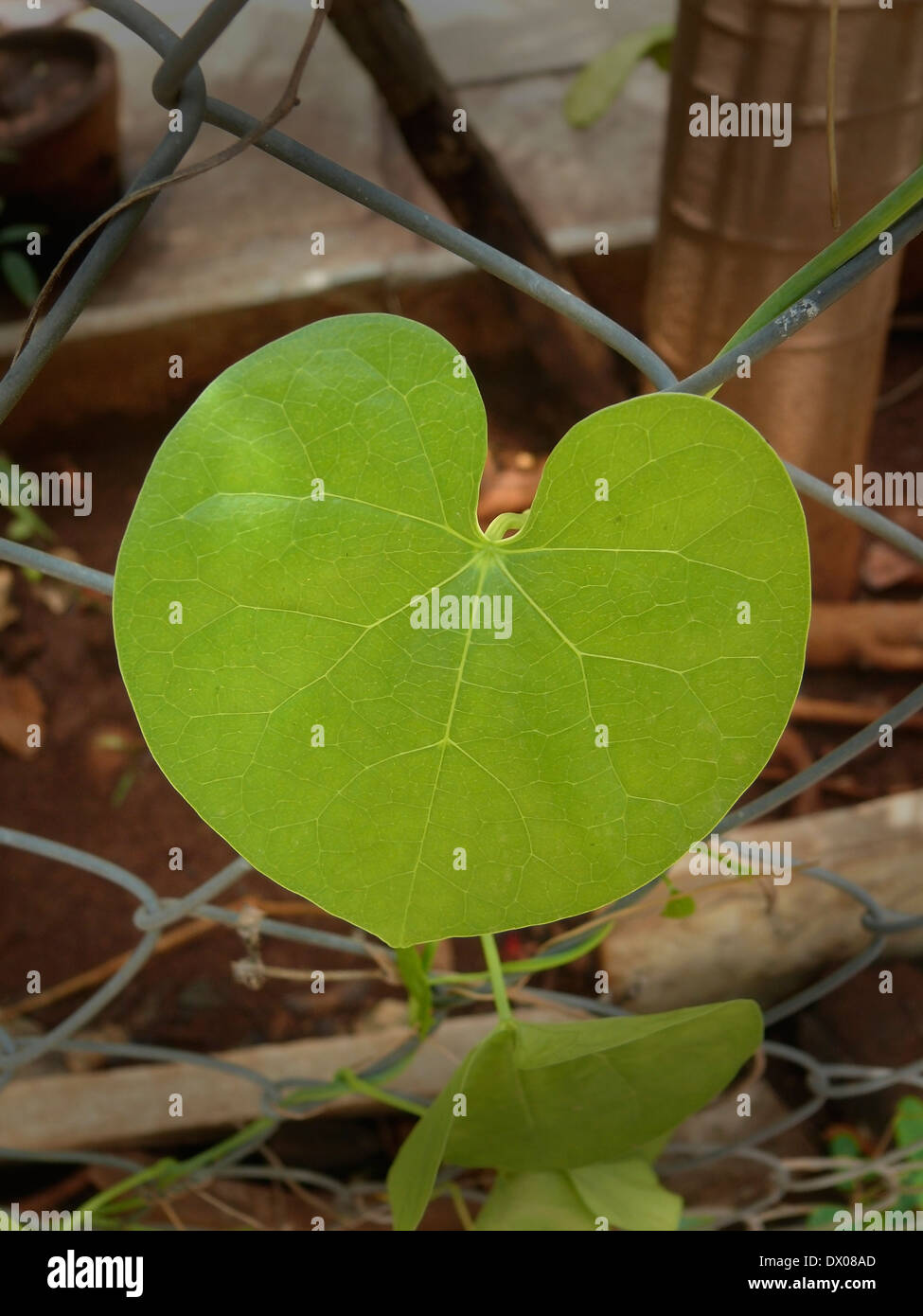 Fence Morning Glory Stockfotos & Fence Morning Glory Bilder - Alamy