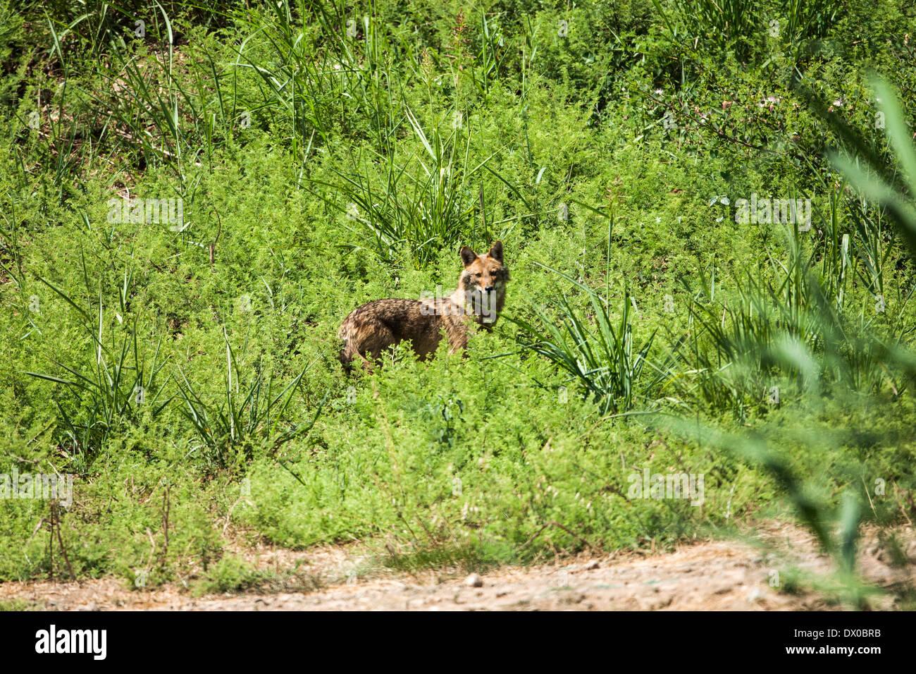 Goldschakal (Canis Aureus), auch genannt asiatisch, orientalisch oder gemeinsame Schakal, Bilder aus dem Monat im Hula-Tal, Israel Stockbild