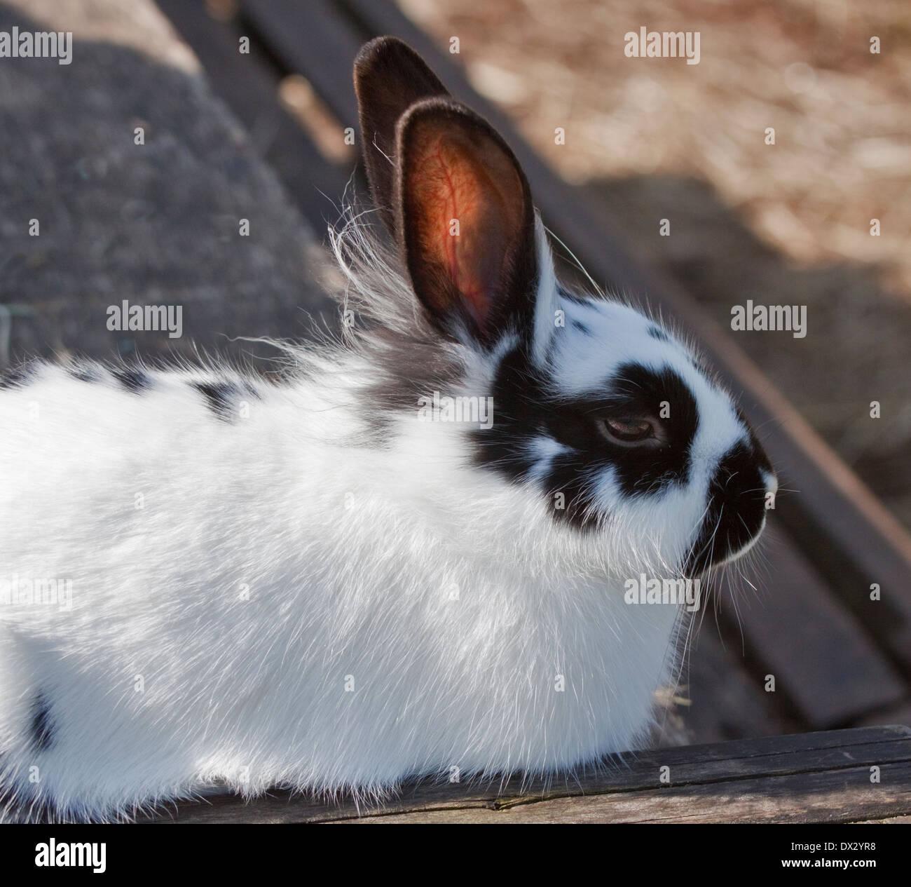 Englische Spot x Lionhead Kreuz Kaninchen Stockfoto