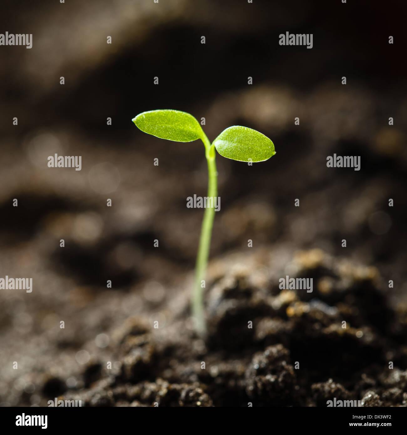 Grüne Spross wachsen aus Samen isoliert auf weißem Hintergrund. Frühling-Symbol, Konzept des neuen Lebens Stockbild