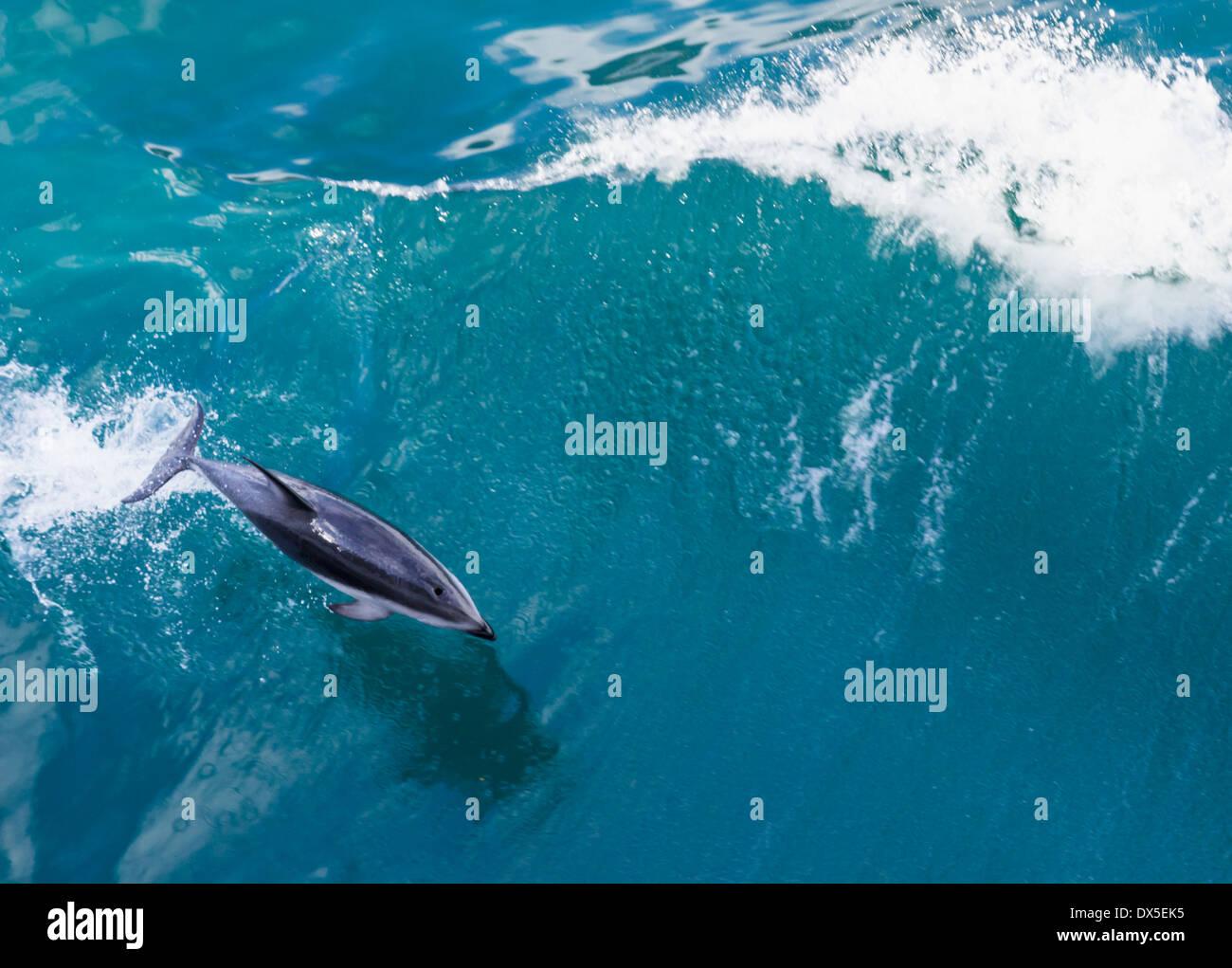 Große Tümmler Sprünge aus dem Wasser in den Ozean von Kreuzfahrtschiff, Neuseeland Stockbild