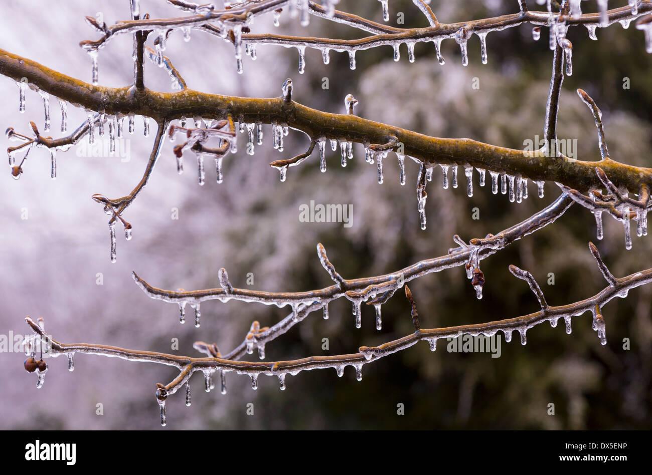 Eiszapfen auf einem Ast im Winter als es beginnt zu tauen Stockfoto