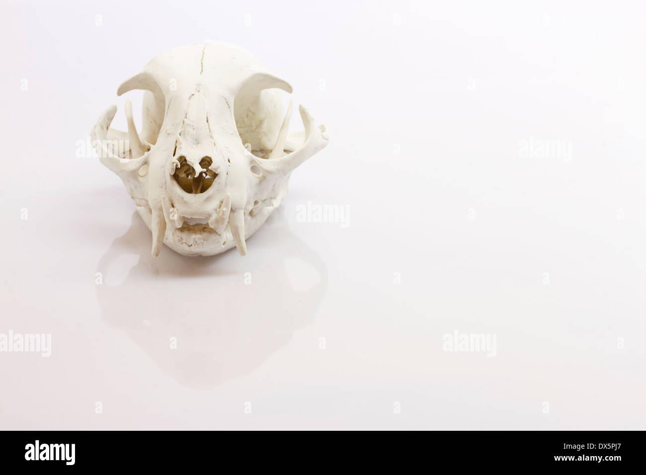 Katze Schädel auf weißem Hintergrund Stockfoto