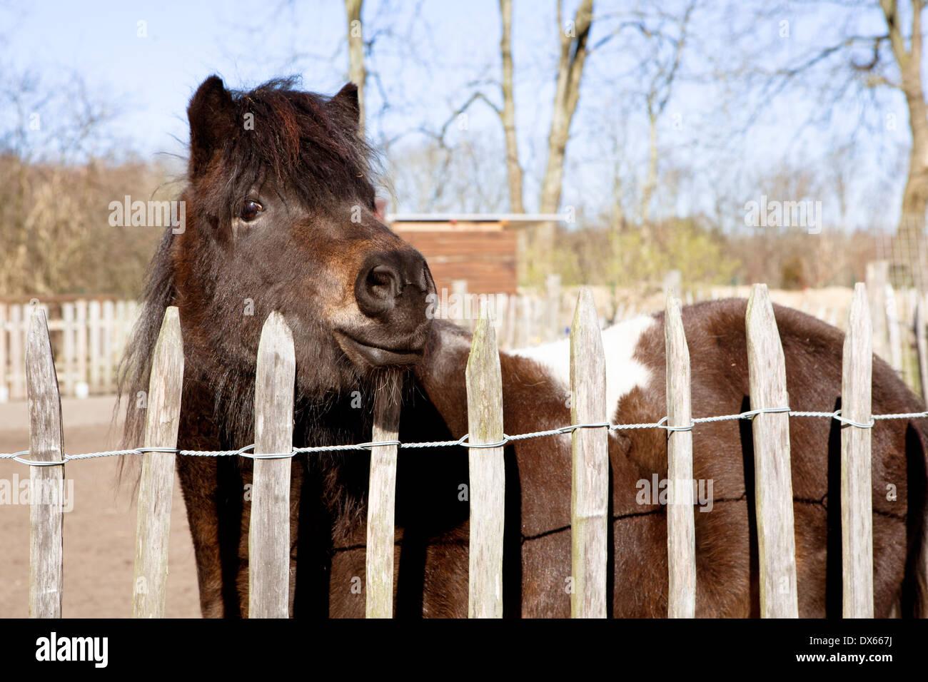 ein Shetlandpony steht am Zaun und schauen in die Kamera Stockfoto