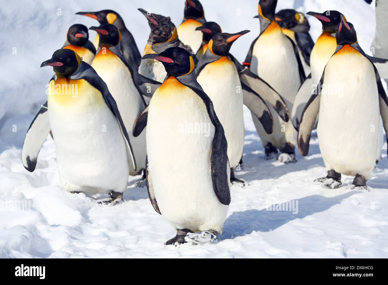 Pinguin-Spaziergang im Asahiyama Zoo in Asahikawa, Japan Stockbild