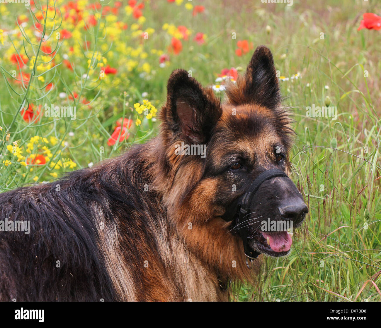 Deutscher Schäferhund tragen ein Halti Kopfstütze in einem Feld von Mohn Stockbild