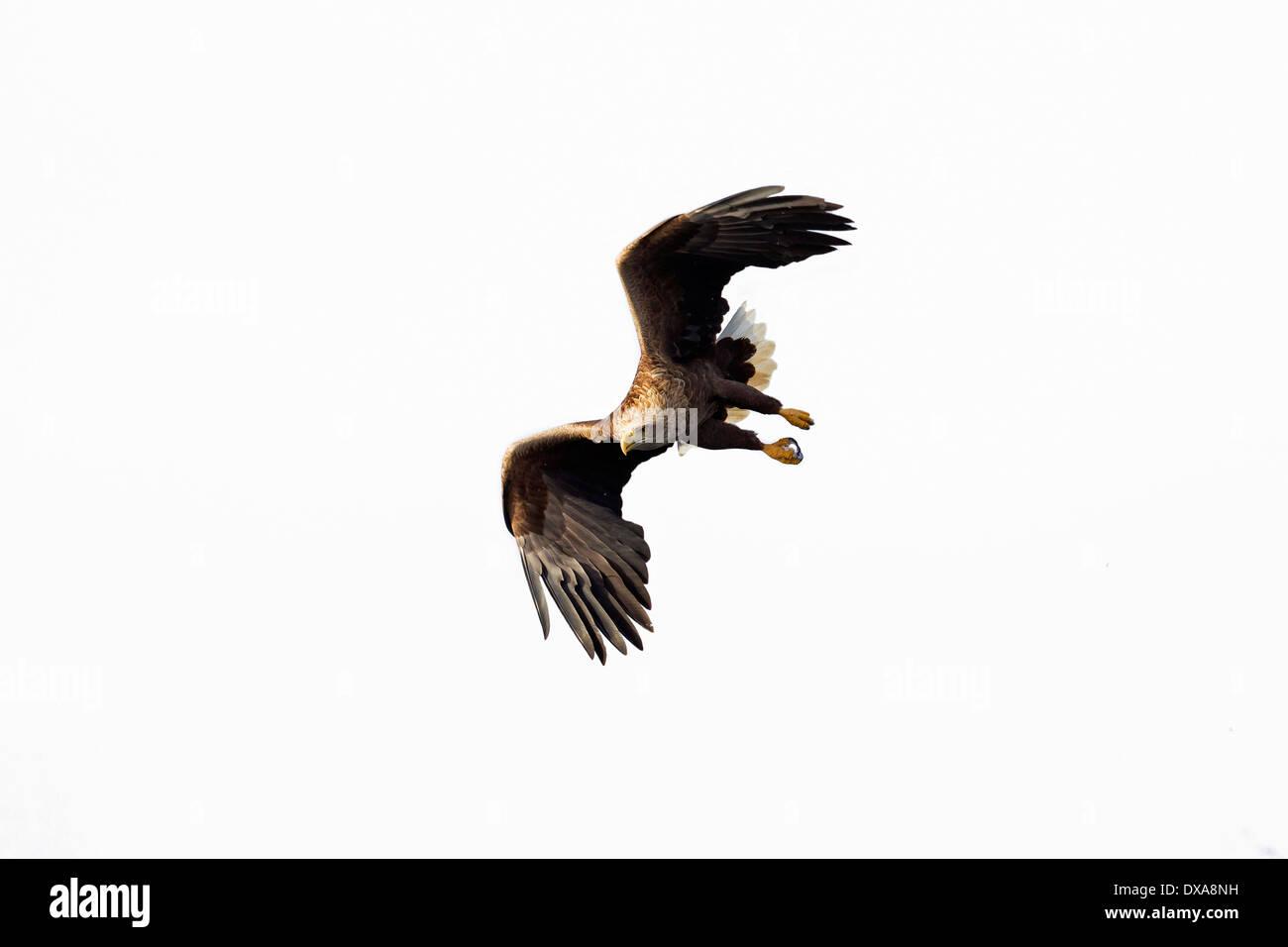 Seeadler / Sea Eagle / Erne (Haliaeetus Horste) auf der Flucht vor weißem Hintergrund Stockfoto